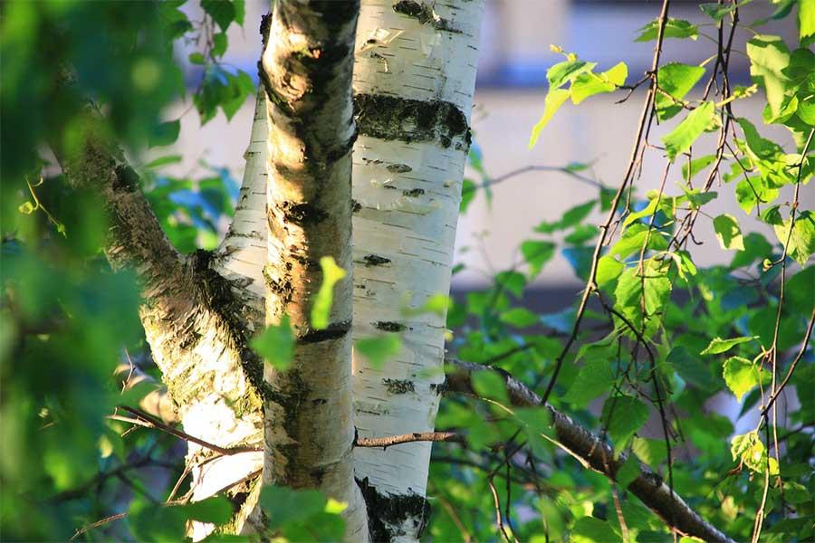 Woda brzozowa – jak wpływa na naszą urodę?