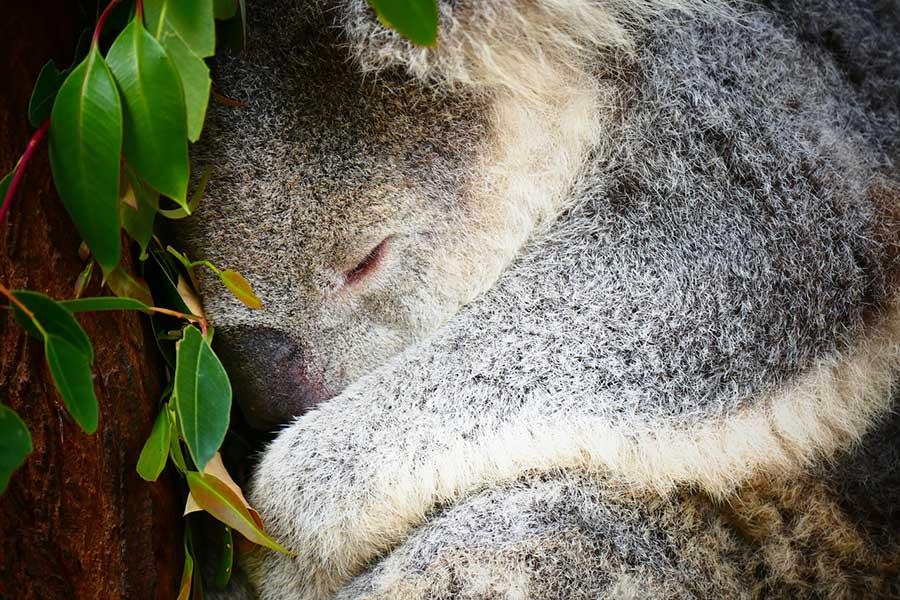 Eukaliptus - właściwości zdrowotne